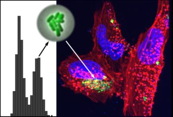 The image shows the spontaneous differentiation of the bacteria into two states (shown in the histogram on the left as two peaks). One of these peaks represents the hypervirulent state that is seen on the right infecting human cells (bacteria are marked in green, the human cells in red and violet). (Photo credit: Irine Ronin)